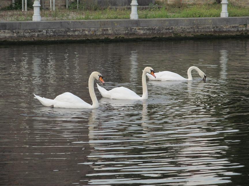 фото Брюгге, лебеди в пруду