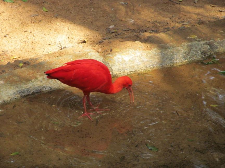 Красная птица в парке птиц в Бразилии