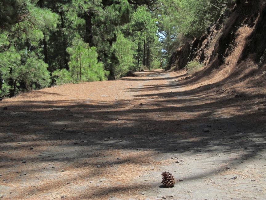 Сосновый лес на Тенерифе