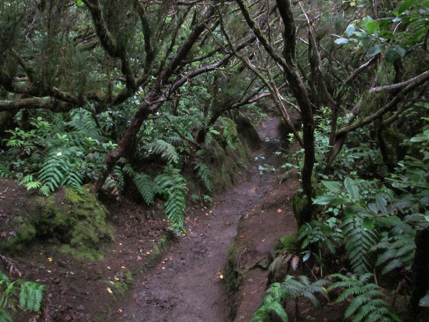 Лавровый лес на Тенерифе