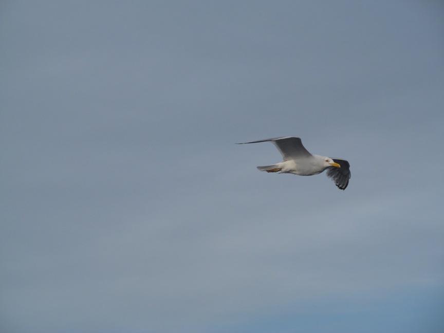 Чайка фотография