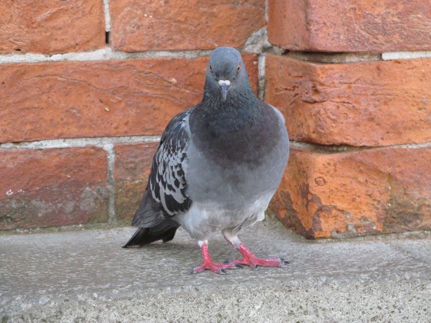 Венецианский голубь крупным планом