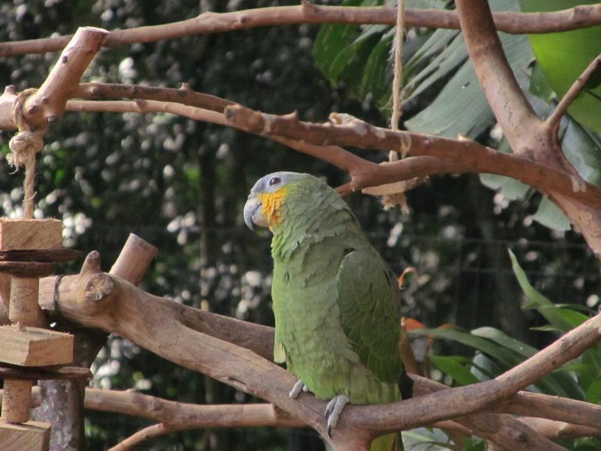 волнистый попугай, бразилия, парк птиц