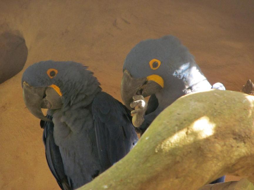 Попугай Жако в Бразилии
