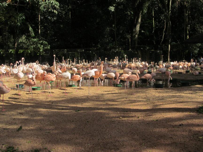 розовые фламинго, парк птиц, бразилия