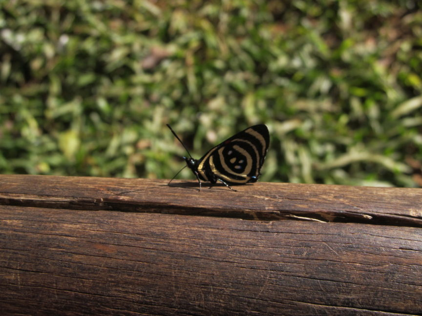 бабочка, парк птиц, бразилия