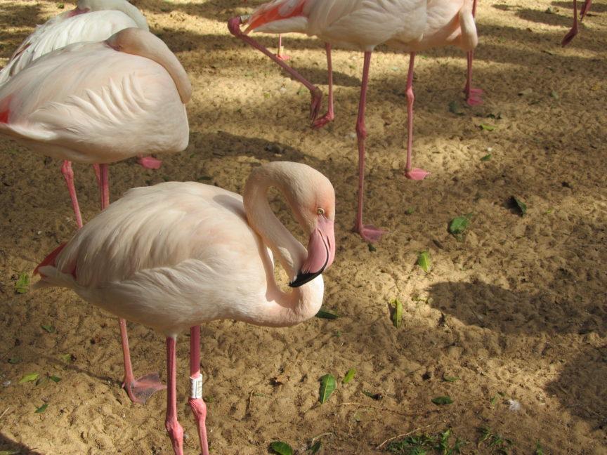 Розовый фламинго в Бразилии