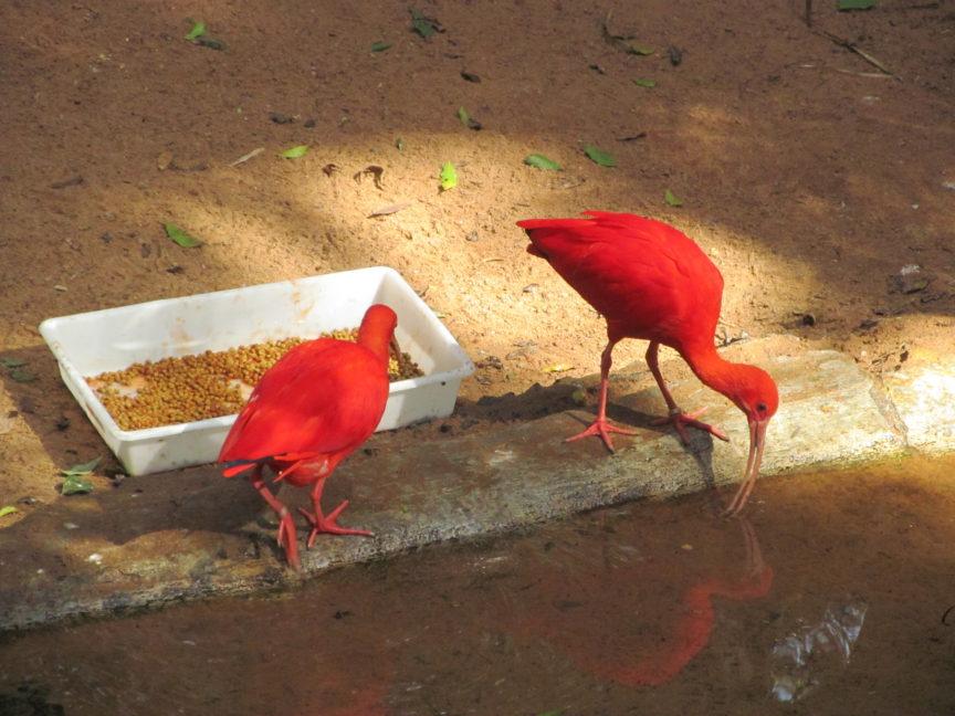 Красные ибисы в Бразилии