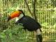 тукан, фото, парк птиц, бразилия