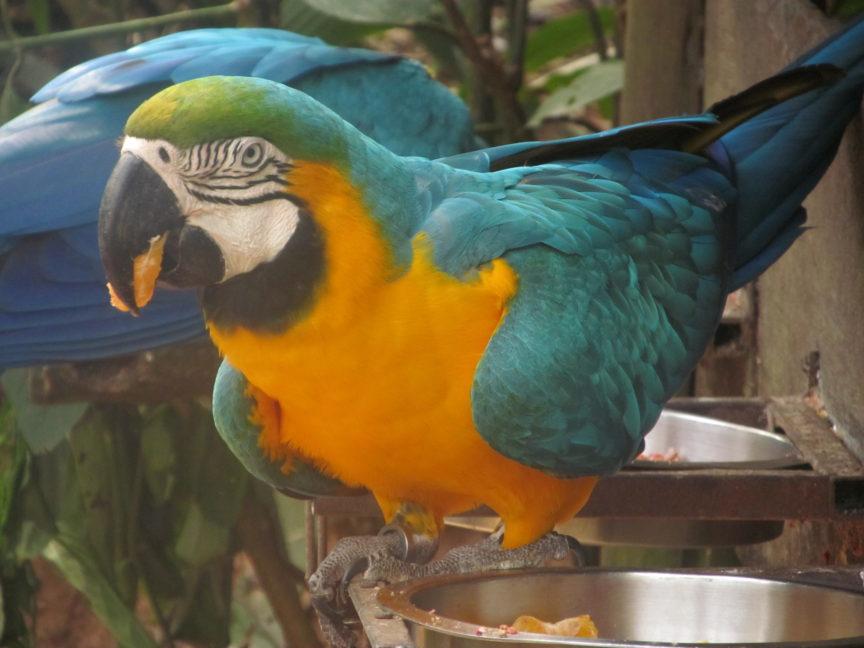 Попугай Ара в парке птиц в Бразилии